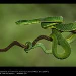 Green Pit Viper by Sheila Haycox, WCPF