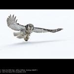 Hawk Owl with Prey by Jeffrey Hoffman, NEMPF