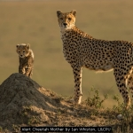 Alert Cheetah Mother by Ian Whiston, LCPU