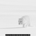 Arctic Fox Winter Coat by Ben Carrick, SPA
