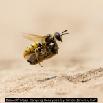 Beewolf Wasp Carrying Honeybee by Simon Jenkins, EAF