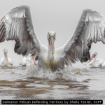 Dalmation Pelican Defending Territory by Sheila Tester, SCPF