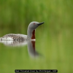 Red Throated Diver by Phil Morgan, WPF