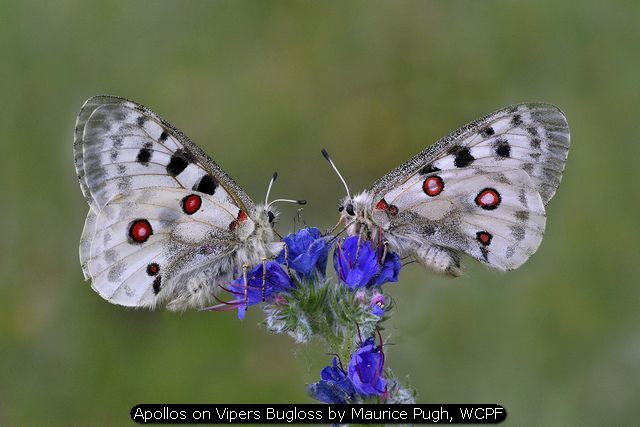 Apollos on Vipers Bugloss by Maurice Pugh, WCPF