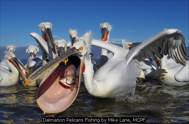 Dalmation Pelicans Fishing by Mike Lane, MCPF