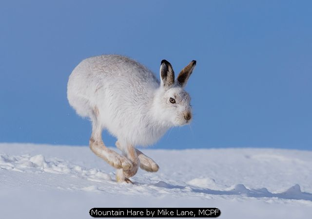 Mountain Hare by Mike Lane, MCPF