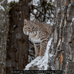 Bobcat In Snow by Karina Limburg, CACC