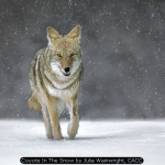 Coyote In The Snow by Julia Wainwright, CACC