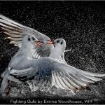 Fighting Gulls by Emma Woodhouse, WPF