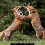 Fox Fight by Terri Adcock, CACC