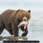 Grizzly Bear with Salmon by Susan Carter, WPF