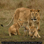 Lion Cub Pursuing Tommie Lamb by Ian Whiston, LCPU