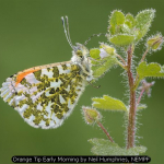 Orange Tip Early Morning by Neil Humphries, NEMPF