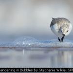 Sanderling in Bubbles by Stephanie Wilkie, SPF