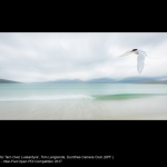 Arctic Tern Over Luskentyre by Tom Langlands, Dumfries