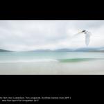 Arctic Tern Over Luskentyre by Tom Langlands, Dumfries
