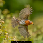 Robin in Flight by Heather Digweed