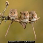 Three Harvest Mice by Carrie Eva