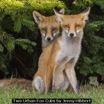 Two Urban Fox Cubs by Jenny Hibbert