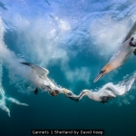 Diving Gannets Shetland by David Keep