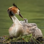 Mother and Chick by Colin Bradshaw