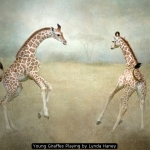 Young Giraffes Playing by Lynda Haney