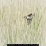 Reed Warbler by Richard OMeara, Poulton le Fylde
